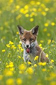Young Red Fox sitting in a flowering meadow GB