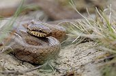 Smooth Snake on the lookout France