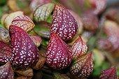 Parrot pitcher plant