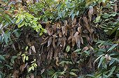 Foliage dry cleaning of Armand Clematis