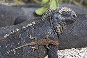 Lava lizard on Marine Iguana Isabella Galapagos