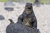 Lava lizard and Marine Iguana Isabella Galapagos