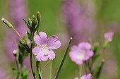 Great willowherb Pyrenees Lleida Spain