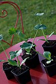 Squash seedlings on a garden table