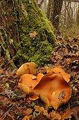 Big laughing mushroom in a hardwood winter France