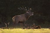 Deer bellowing among Biches lying Sologne France