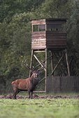 Deer in front of a watchtower during the slab France
