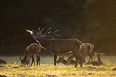 Bellowing deer from a herd of deer lying Sologne France ; The backlighting permits to see the steam out of the throat of the red deer