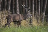 Deer out of a pine wood to join the herd France