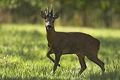 Roe Deer in the driveway of an organic orchard France