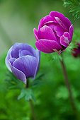 Anemones in bloom in a garden