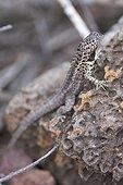 Lava lizard on volcanic Galapagos Santa Cruz