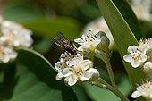 Fleurs blanches de Cotonéaster butinées par une Mouche
