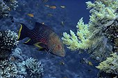 Lunartail Grouper and symbiotic Bluestreak Cleaner Red Sea