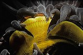Magnificent Sea Anemone eating Striped Butterflyfish Red Sea