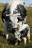 Vosges cow and her calf on Mount Hohneck France