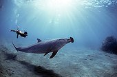 Snorkeler interacting with wild Bottlenose Dolphin Red Sea
