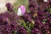 Restharrow  flowers Mont Ventoux Provence France