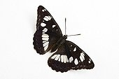 Southern White Admiral on white background