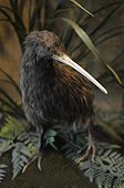 Brown Kiwi New Zealand