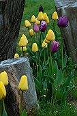 Tulips in bloom in a garden
