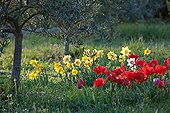 Tulips and narcissus in bloom under an olivetree in a garden