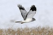 Northern Harrier male flying and searching of prey