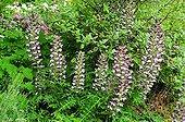 Bear's breech in bloom in a garden