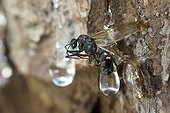 Carpenter ant caught in the resin of spruce France ; Resin flowing from a hole made by a black woodpecker
