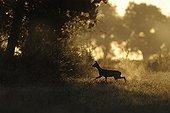 Roe walking in a meadow at sunrise France