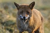 Red fox carrying a Vole France ;