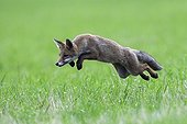 Mulotage of a fox to catch a voleFrance ;