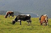 Cows Vosges and Lake Kruth Ridge High-VosgesFrance