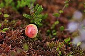 Fruit Cranberry bog in the Vosges BalloonsFrance
