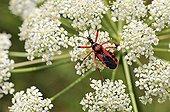 Red Assassin Bug on umbel Valley Alzou France