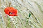 Poppy flower in a field of ripe wheat Midi-Pyrenees France
