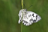 Half mourning Butterfly on a stem of grass Limousin France