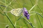 Black -veined White pollinating a flower Scabieusa Limousin