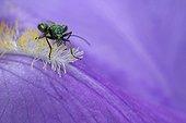Thick-legged Flower Beetle hidden behind a petal Iris