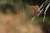 Brown argus suspended from a grass in spring