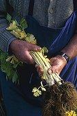 Harvest of celery 'Géant doré amélié' in a kitchen garden