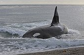 Killer Whale retiring after hunting on seashore Patagonia ; The Killer Whale ran aground deliberately to capture Sea lions at the seawater's edge.