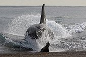 Killer Whale attacks Sea Lions on seashore Patagonia ; The Killer Whale ran aground deliberately to capture young Sea lions at the seawater's edge.