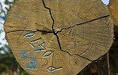 Timber marked Danum Valley Sabah Borneo Malaysia