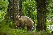 Bearded Pig Danum Valley Borneo Malaysia