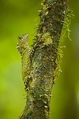 Tropical forest Dragon Danum Valley Borneo Malaysia
