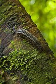Millipede on trunk Borneo Danum Valley Malaysia