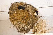 House Martins at nest Europe