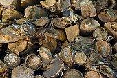 Gray Flycatcher nest in woodpiles Europe