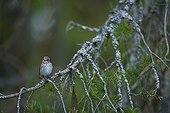 Spotted Flycatcher on a conifer branch Europe